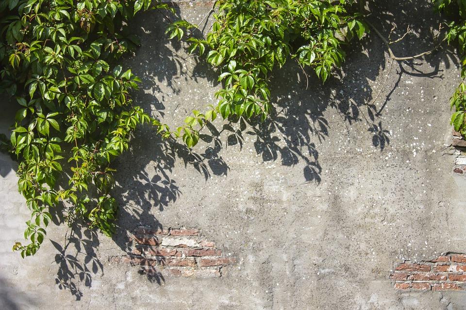 psí víno na zdi